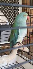 FOUND - INDIAN RINGNECK - ALEXANDRA HILLS 4161 Alexandra Hills Redland Area Preview