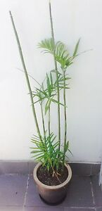 Bamboo in a pot   FREE DELIVERY Rosebery Inner Sydney Preview