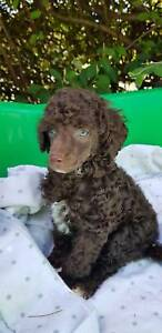 Toy poodle poodle