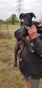 Black and white Cane corso x mastiff girl