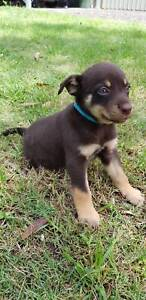 Pure Bred Red and Tan Kelpie Puppies