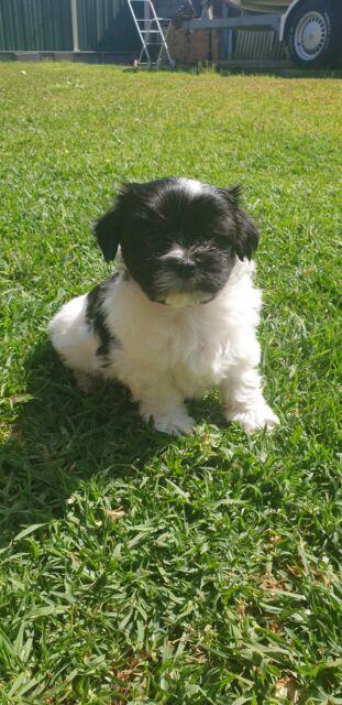 Maltese X Pom Dogs Puppies Gumtree Australia Brisbane South West Forest Lake 1255860936