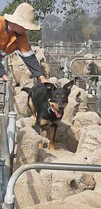 Kelpie Pups (prue breed)