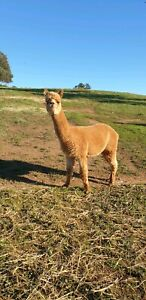Guardian Alpaca Castrated Male