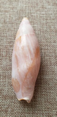 Ericusa Sericata 95.2 mm Silk-like Volute  Beautiful Pink Marble Specimen⭐