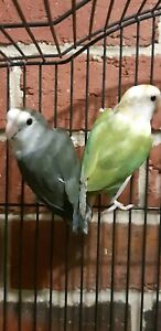 LOVEBIRDS (YOUNG)