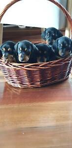 dachshund mini puppies.