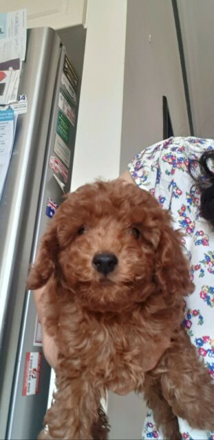 Red Toy Poodle Female Pup Dogs Puppies Gumtree Australia