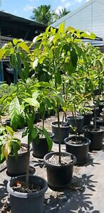 🌱🥑ADVANCE AVOCADO (seedling) 🥑🌱
