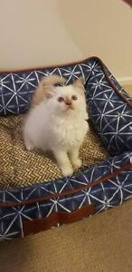 Male rag doll kitten!