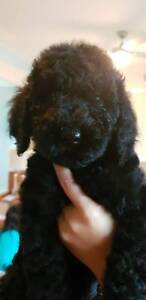 8 Weeks Black Female Standard Poodle Puppy Ready to Go
