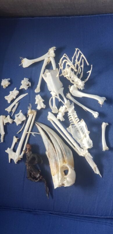 Female Yellow Hornbill skeletons Clean And Dried Skeleton