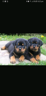 Wanted: Wanted to buy Rottweiler puppy