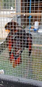 Parrot Dusky lorikeet