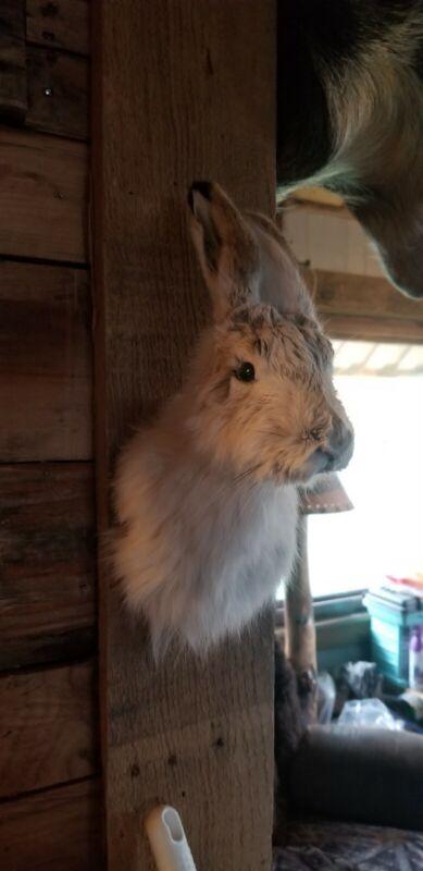 Snowshoe hare rabbit deer antlers Mount Taxidermy Decor novelty mount jackalope
