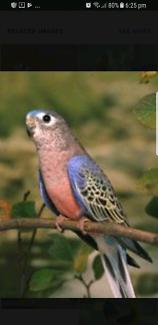 Wanted Burke parrots.