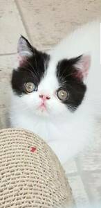 Exotic shorthair kittens