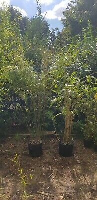 2x Bamboo Plants! £50 SEE DESCRIPTION!!!