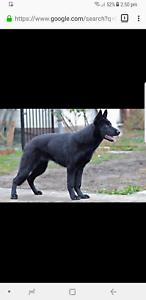 Wanted black german shepard puppy