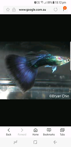 Guppies for  sale  blue and  purple Cairns Cairns City Preview