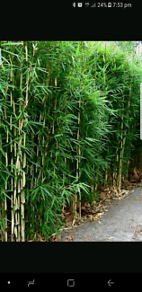 Im after bamboo with roots send me what you have
