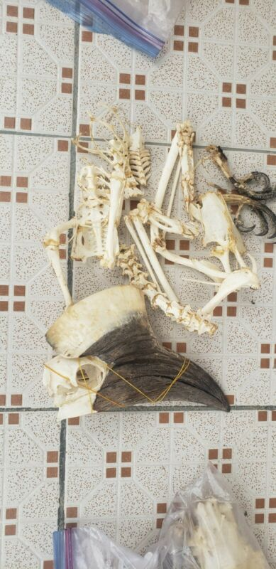 Yellow Hornbill skeletons Clean And Dried Skeleton