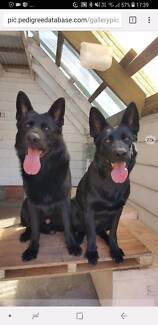 German Shepherd Dog puppies, All Black parents, working lines