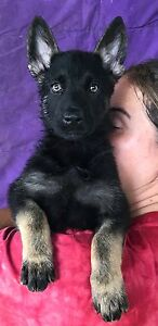 Pure bred papered German shepherd puppy's Mount Tarampa Somerset Area Preview