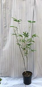 Goldstripe clumping bamboo Merewether Heights Newcastle Area Preview