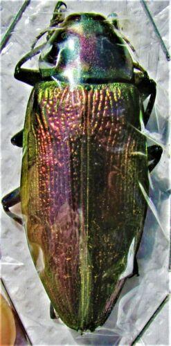 Giant Metallic Jewel Beetle Euchroma gigantea gigantea FAST FROM USA