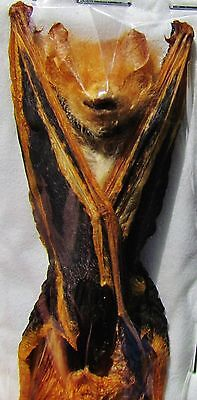 """Asian Painted Bat Kerivoula picta  Hanging Near 3"""" Taxidermy FAST SHIP FROM USA"""