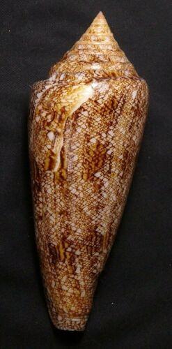 edspalshells- Conus gloriamaris  120.8mm F+/F++, sea jewels conchology sea shell