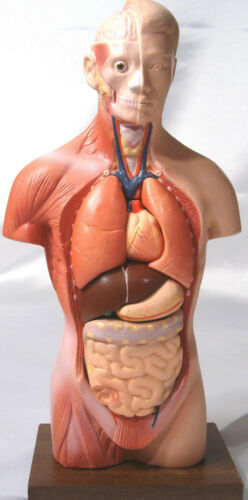"12"" 30 cm desktop human body torso anatomical model anatomy education teaching"