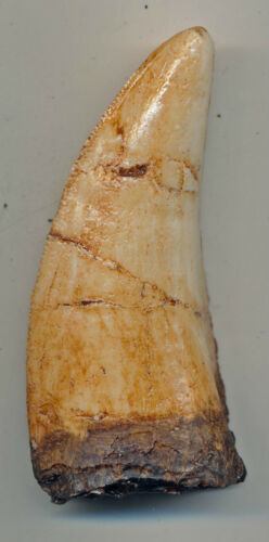 BEAUTIFULLY DETAILED T-REX TOOTH
