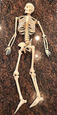 Vintage Full Human Adult Skeleton Anatomy Medical Model Chiropractor 34 Tall