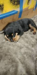 rottweiler puppy  male bigget in litter Banksia Beach Caboolture Area Preview