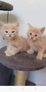 Adorable Tabby x Ragdoll Kitten!