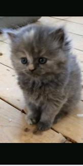 Wanted: WTB  Ragdoll x kitten or fluffy kitten