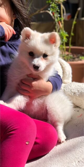 Japanese Spitz puppy ( Tiny ) female   Dogs & Puppies