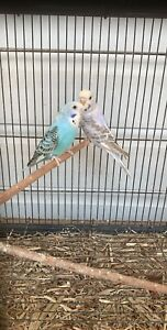 Baby budgies and parents