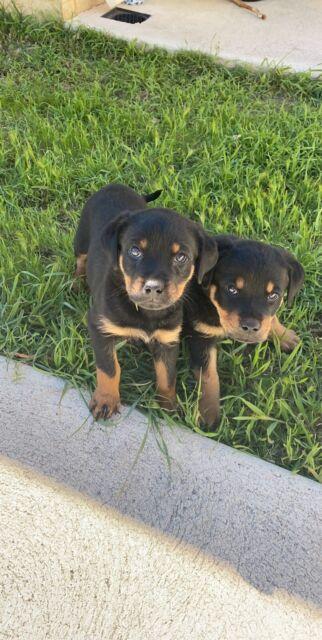 Rottweiler Puppies Dogs Puppies Gumtree Australia Perth City Area Perth 1256769222