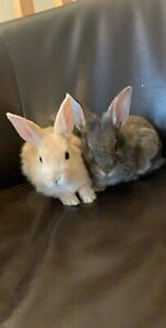 Two bunnies and all equipment and cage