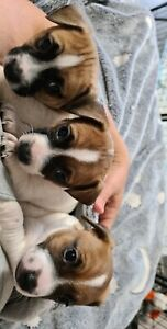 Purebred Jack Russell pup