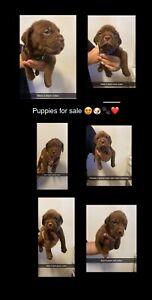 Douge de Bordeaux puppies for sale