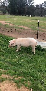 pig for sale in New South Wales | Livestock | Gumtree Australia Free
