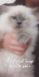 Lost kitten-  rag doll went lost at 5240 Kent st