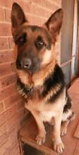 German Shepherd Dog Bendigo Surrounds Preview
