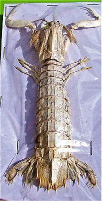 """Harpiosquillid Mantis Shrimp Harpiosquilla raphidea 3-4"""" Dried FAST FROM USA"""