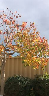 Tree Chinese Tallow Ashby Wanneroo Area Preview