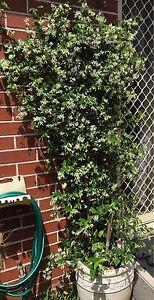 Jasmine plant in a ceramic white pot 1.5 metre height Kogarah Bay Kogarah Area Preview